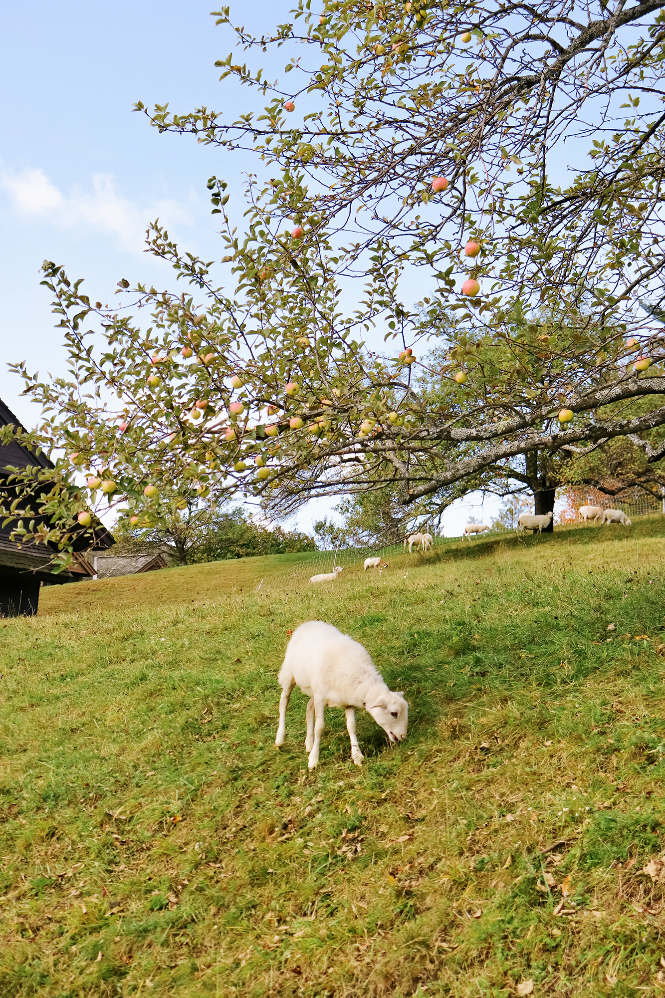 Adorable sheep grazing at the Von Trapp Family Lodge. While Leaf Peeping in Vermont 2019. | Kristy Wicks