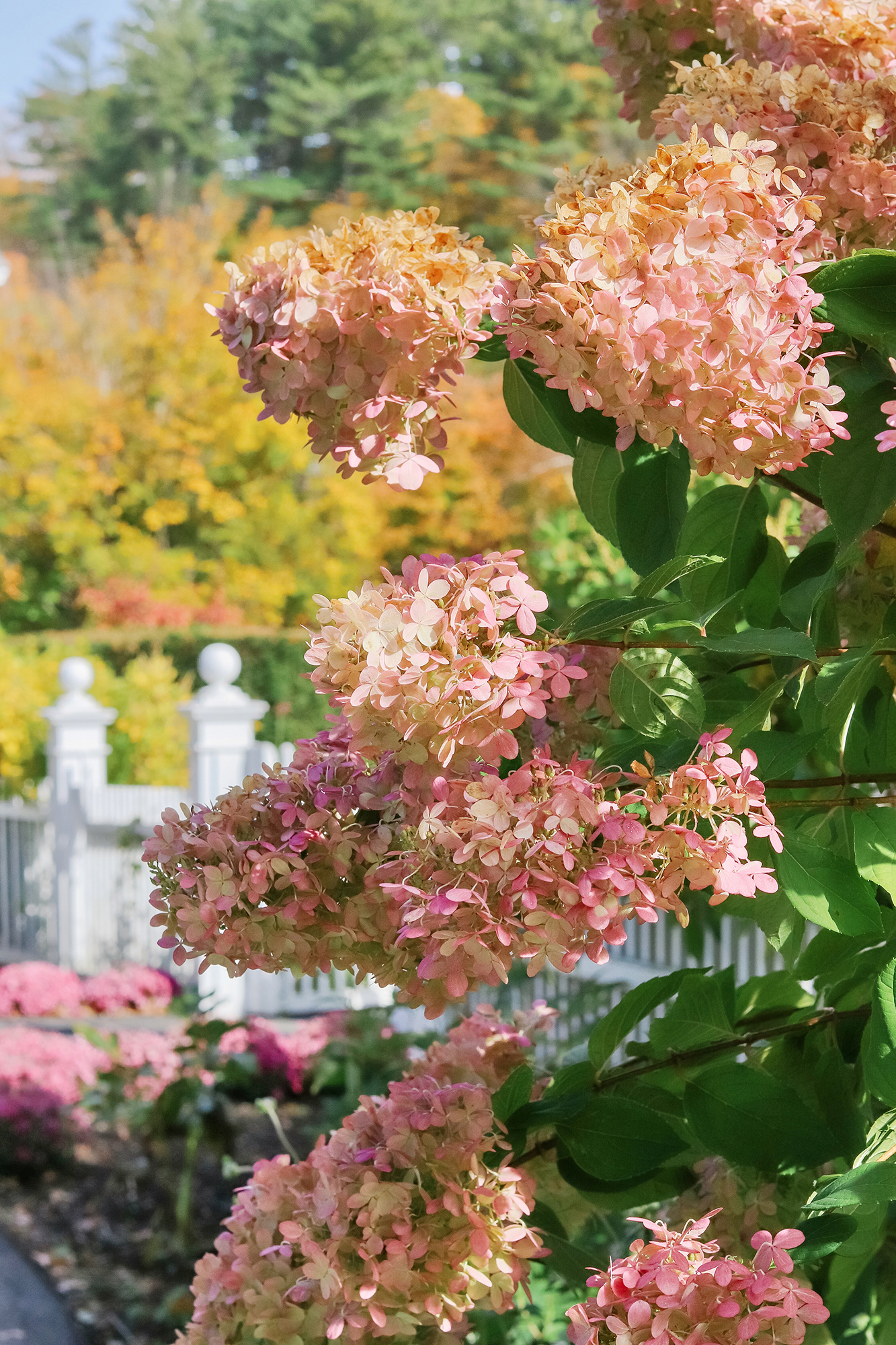Gorgeous cone hydrangea outside of the Woodstock Inn entrance. - While Leaf Peeping in Vermont 2019. | Kristy Wicks